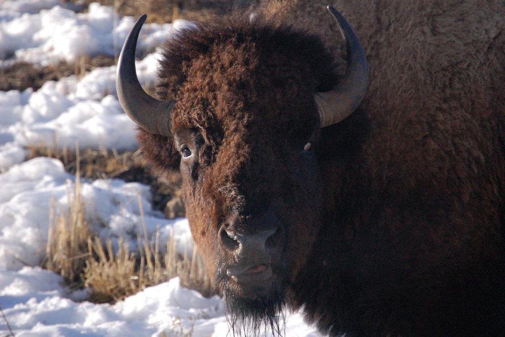 Bison: Funny Face