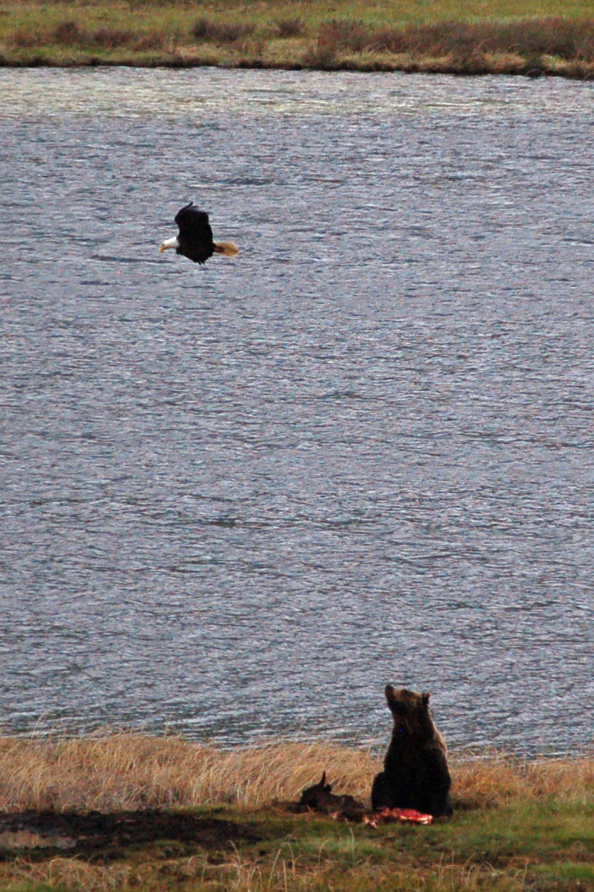 A bald eagle swoops over a grizzly bear feeding on a carcass in Yellowstone National Park.