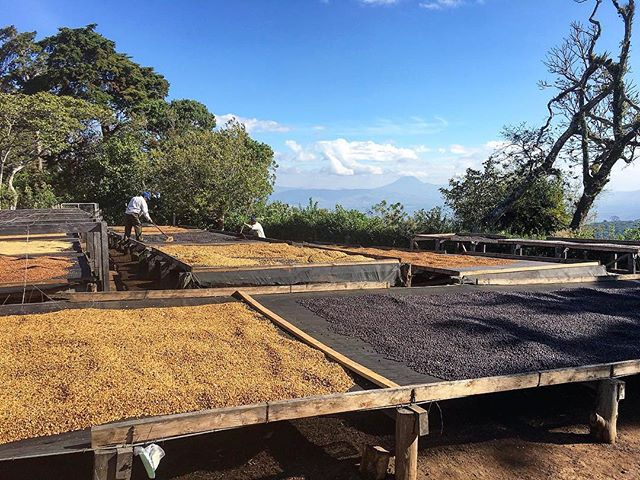 Our Director of Coffee, @stachmo13, is currently on a trip through El Salvador. He's visited many of our producer partners, including Finca Kilimanjaro, Finca Bueno Aires, Finca Himalaya, and Finca Los Pirineos. ❤️🐯❤️ this is beautiful image of natural and honey processed lots drying at the Divisadero Mill. Next up is Guatemala! #EquatorTravels