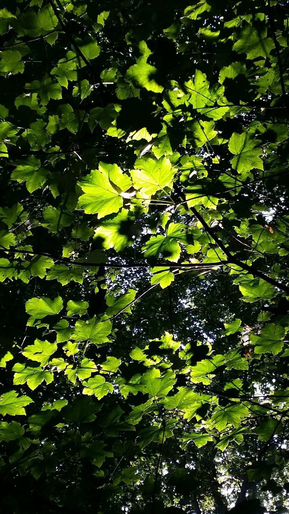 Illuminated Leaves.jpg