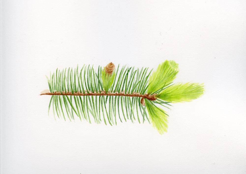 sst ch3 spruce.jpg