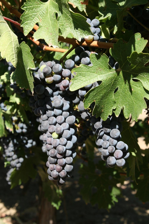 grapes.2.jpg