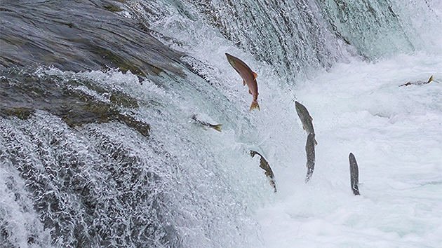 Salmon jumping upstream as part of their migration to thier freshwater spawning grounds.