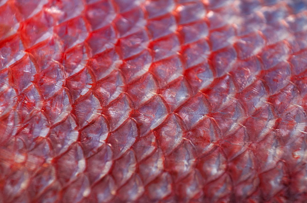 snapper scales closeup. nikon d300s, 200mm, f/7.1, 1/640 sec