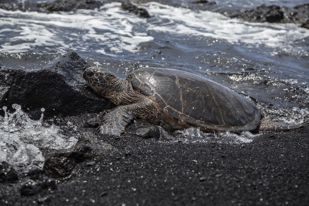 Hawaiian sea turtle on a black sand beach. Big Island, Hawaii