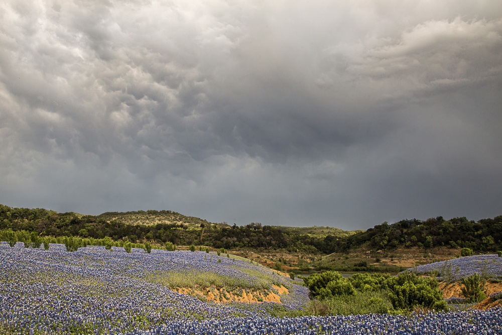 Although half the field is currently underwater, there should still be a lot of bluebonnets in Spicewood in 2016.
