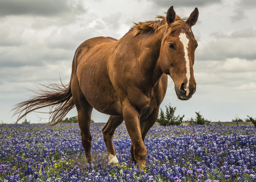 Horse in a field of bluebonnets on Williams Drive outside of Georgetown.