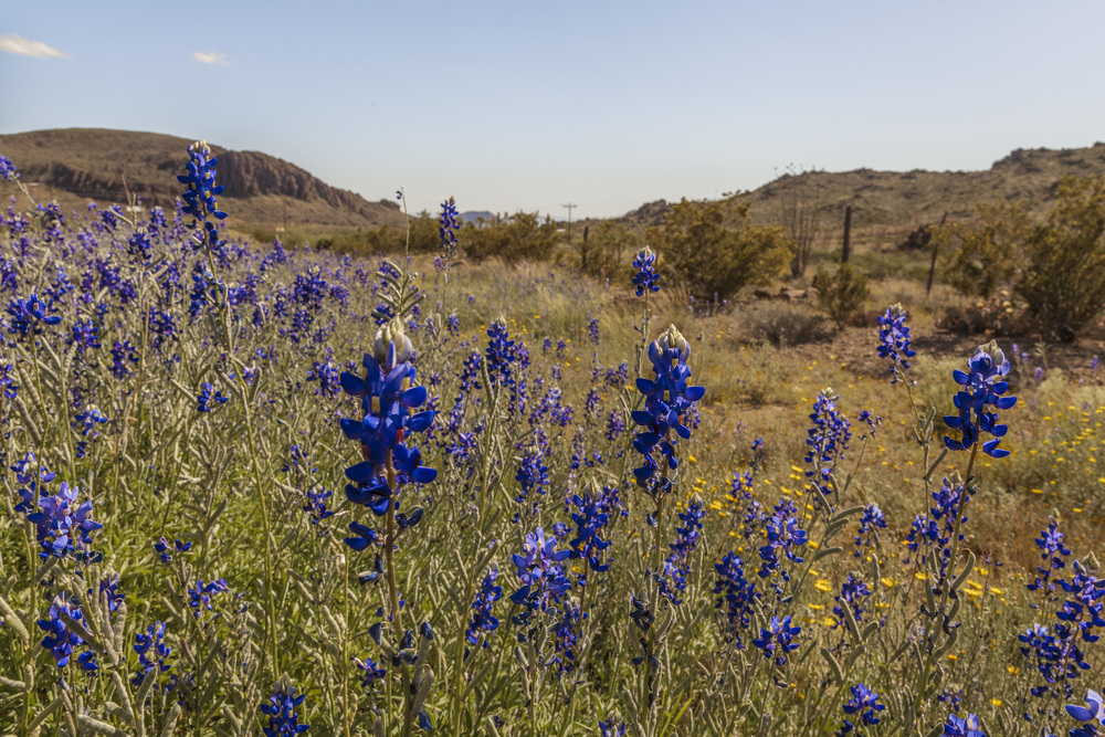 2015 bluebonnets in Big Bend. - Savannah Williams