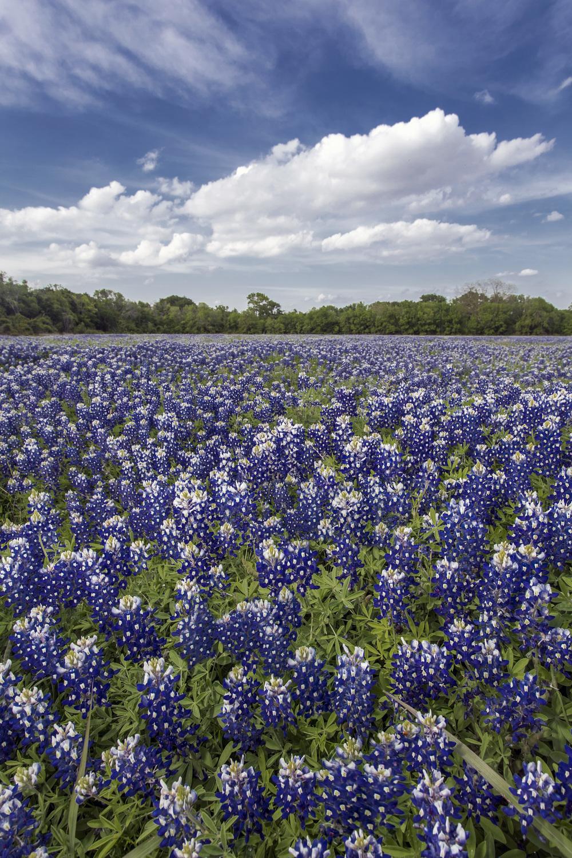 Bluebonnet field jason weingart photography for 11x14 paper size