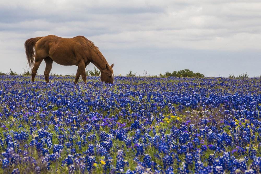 Horse off Williams Drive in Georgetown, Texas. Image credit : Jason Weingart