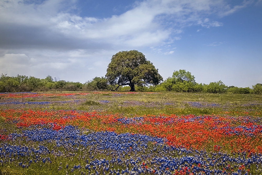 2016 saw a great year for Indian Paintbrush mixed in with bluebonnets, especially around the Llano area. Image credit : Jason Weingart