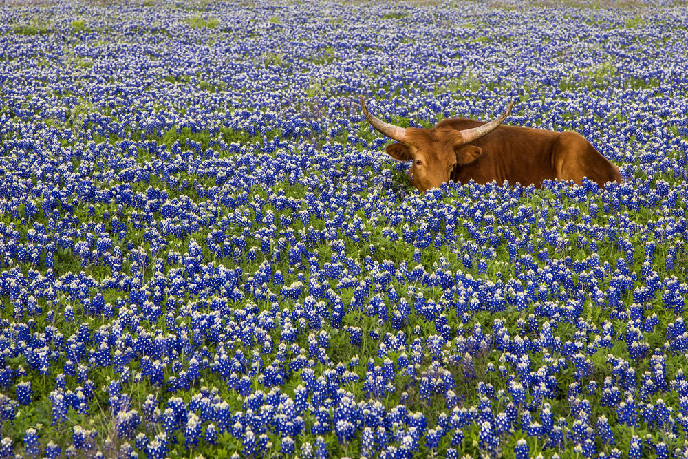 Keep an eye out for longhorns. This guy was enjoying bluebonnets for the first time. Image credit : Jason Weingart