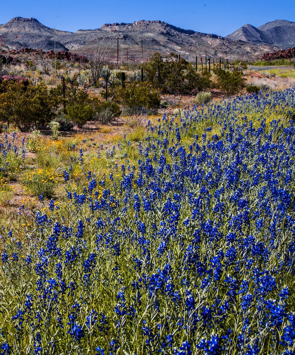 Bluebonnets in Big Bend. Image credit : Savannah Weingart