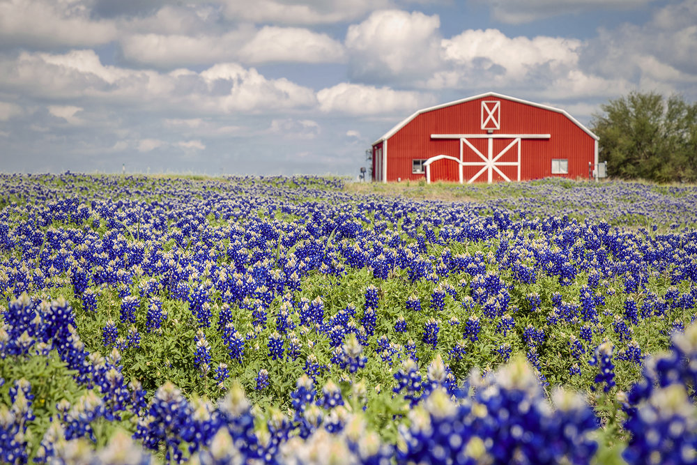 Texas bluebonnets barn