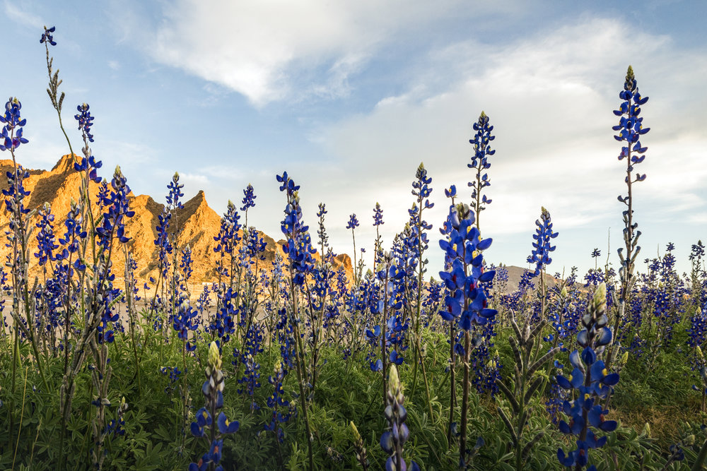 Texas hill country bluebonnets 2018 where locations to see when best