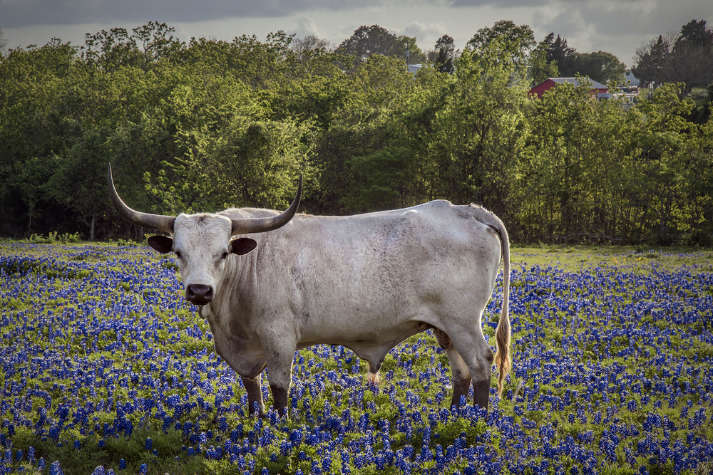 Livestock keep bluebonnet fields looking great by eating the grass around the plants.