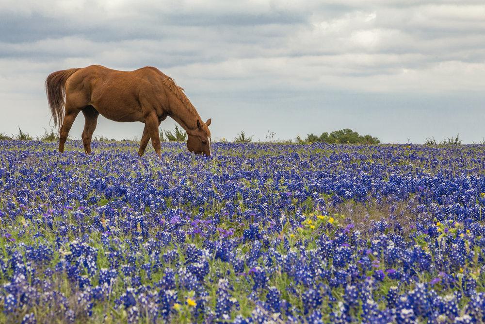 Horse grazes amongst bluebonnets off Williams Dr. 2015 season.