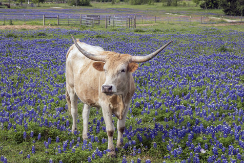 Animals do not eat bluebonnets. They are mildly poisonous.