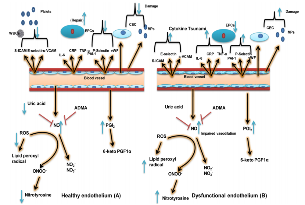 Um endotélio saudável possui boa capacidade de vasodilatação, suprime a trombose, a inflamação vascular e a hipertrofia celular. Este esquema mostra a diferença do endotélio saudável (A) e do endotélio disfuncional (B). Para saber mais:Rajendran et al., 2013