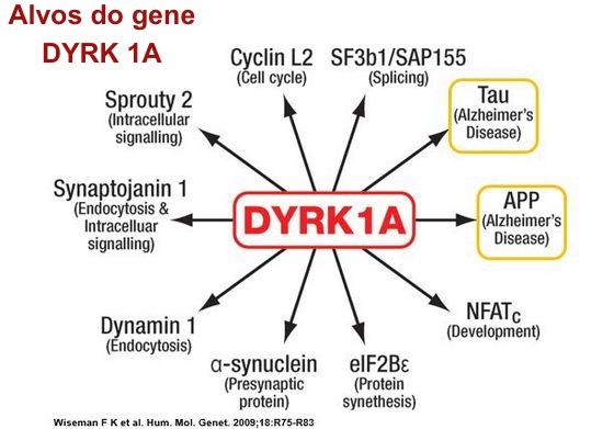 DYRK1A-Tau-APP.jpg