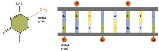 dna-methylation.jpg