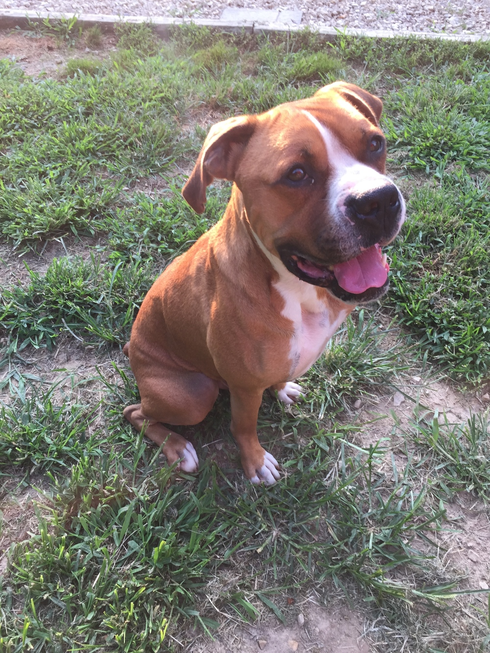 """Chester   -  Male - Boxer - 3 year(s) old - Atlantic County Animal Shelter - Pleasantville , NJ -               """" FOREVER HOME """" found !"""