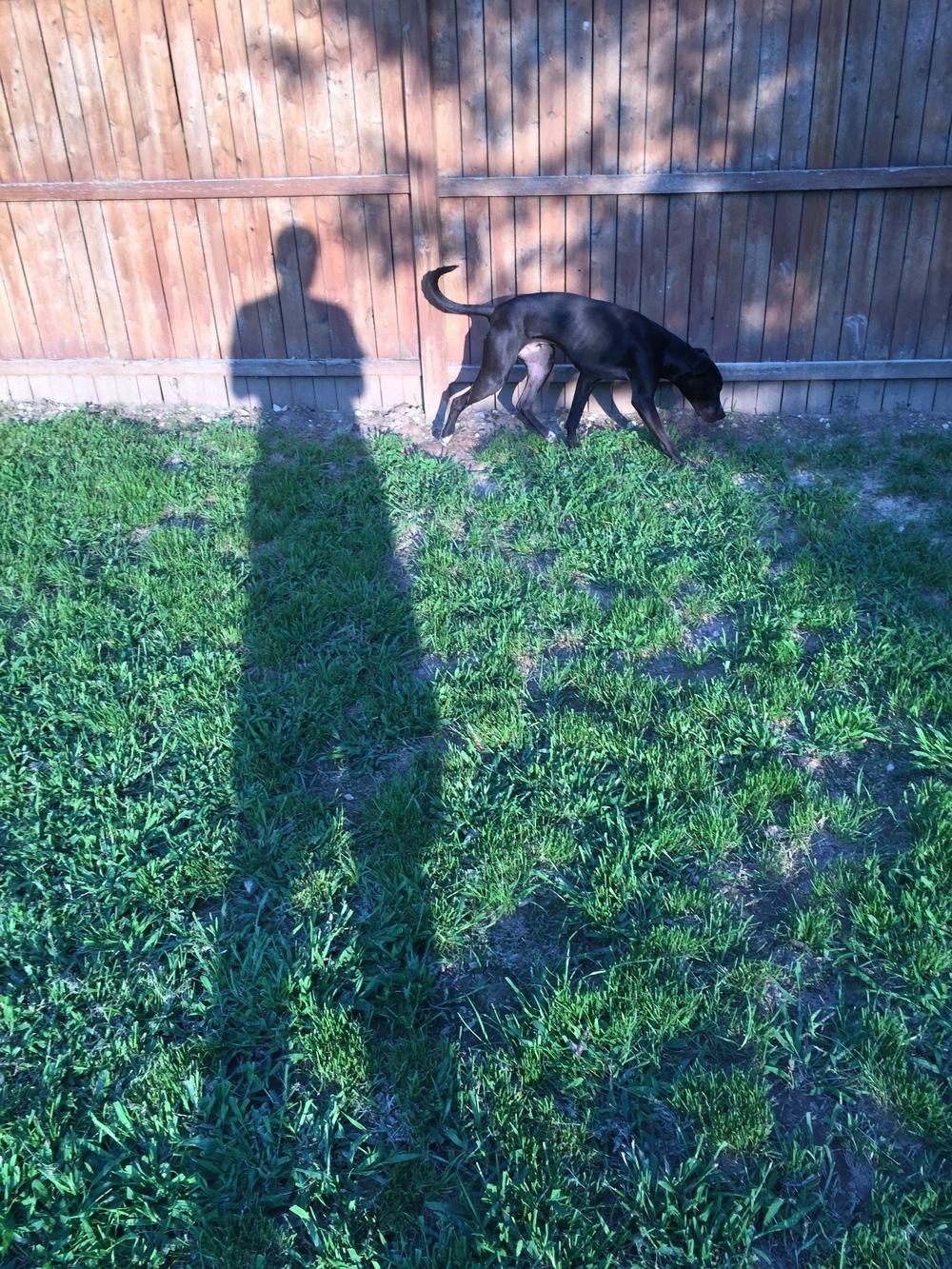 "Bruiser  - Male - Pit Bull Mix - 1 year old - Animal Welfare Foster Program - Blacksburg ,Virginia             "" FOREVER HOME "" found !"