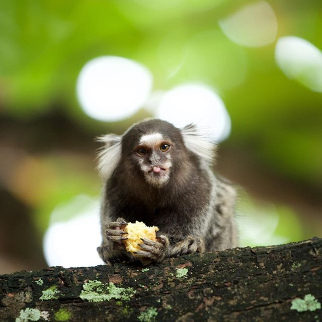 This lil bastard stole my kid's lunch! Caught him red handed w the #Nikon #d610 #lunch #thief #monkey #lemur #brazil #bahia