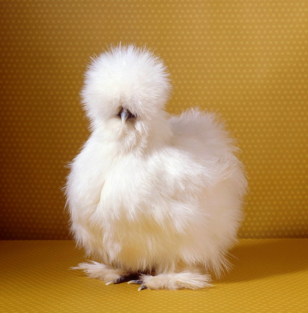 tamara-staples-pretty-chicken-fancy-white-silkie.jpg