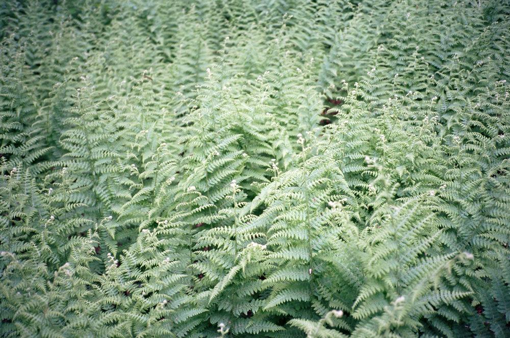 Ferns (Yashica T3 :: Ektar)   162/365