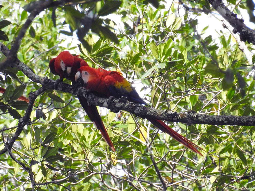 Scarlet macaw ( Ara macao)