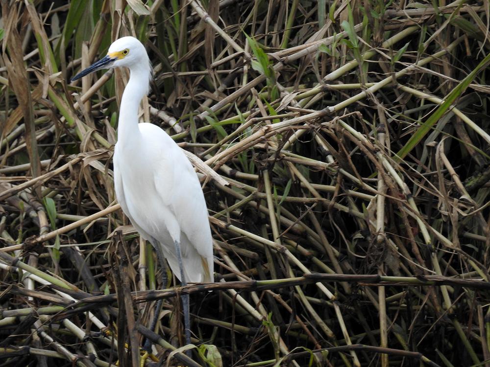 Snowy egret ( Egretta thula)