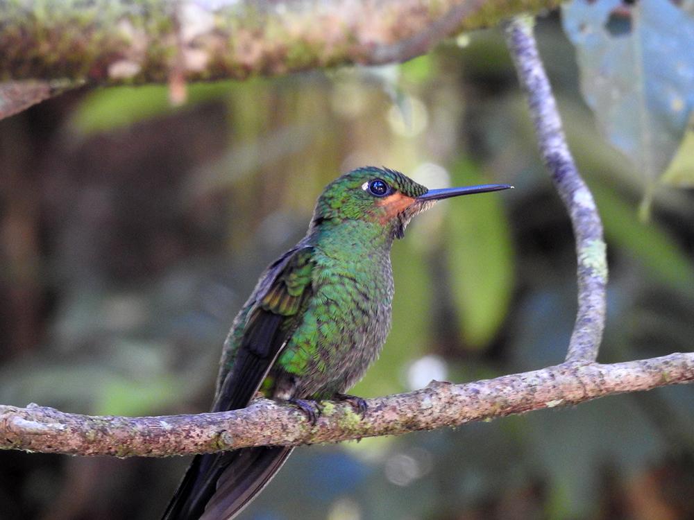 Striped-tailed hummingbird ( Eupherusa eximia), photo taken at the Hummingbird Gallery.