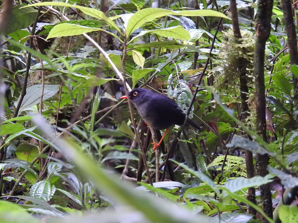 Slaty-backed nightingale-thrush ( Catharus fuscater)