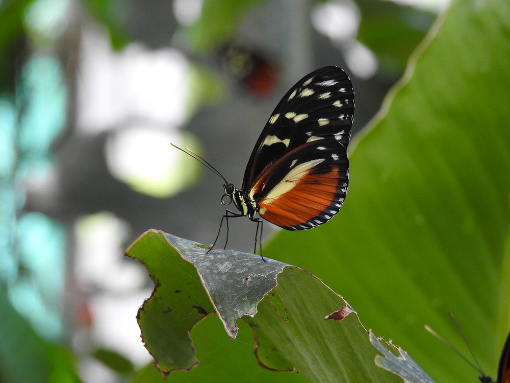 Hecale longwing ( Heliconius hecale), photo taken at the Butterfly Garden.