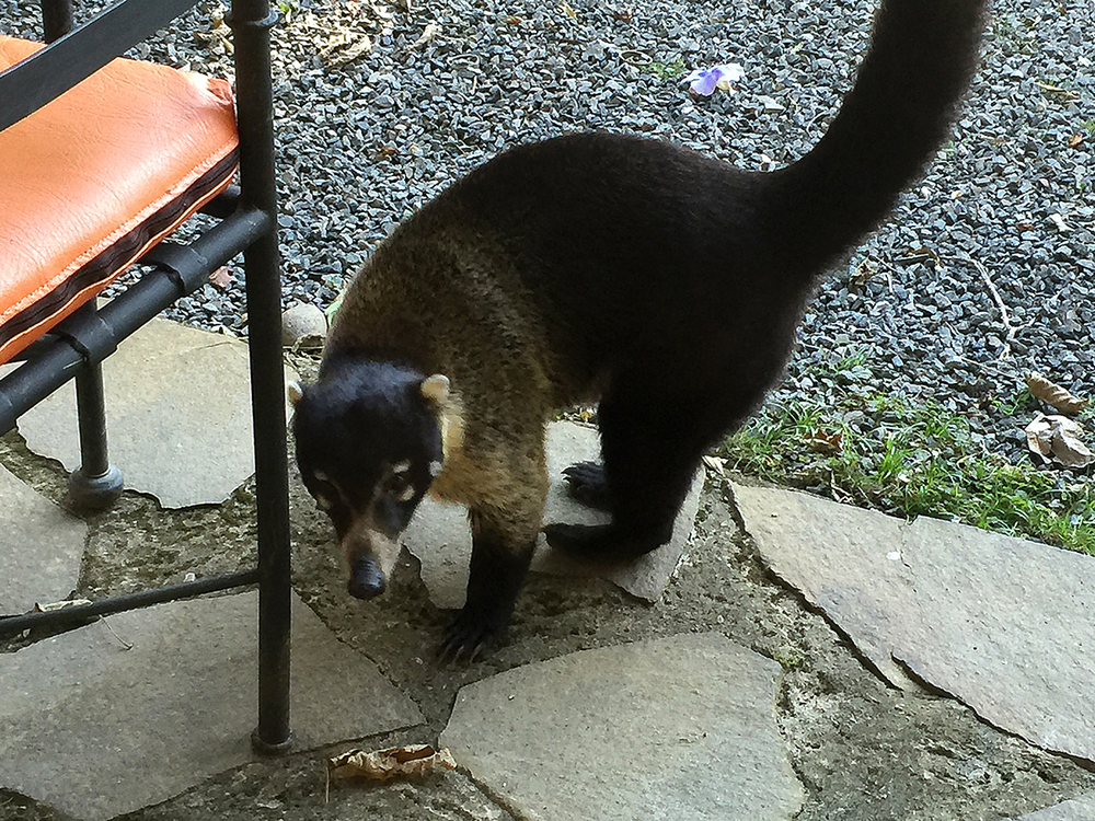 White-nosed coati ( Nasua narica) photo taken with my iPhone at Monteverde Lodge.