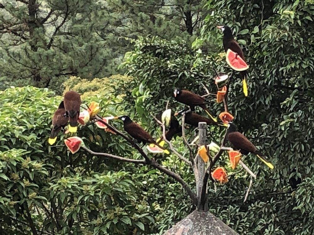 A bunch of Montezuma oropendolas.  Some more wildlife...