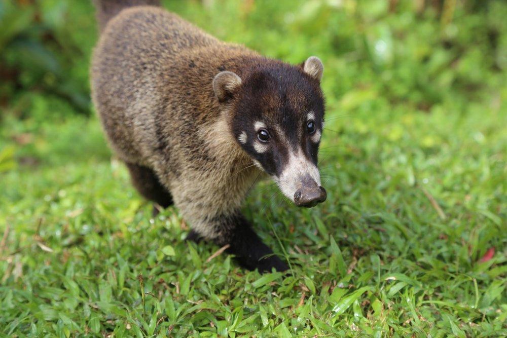 A version of raccoon (coati).