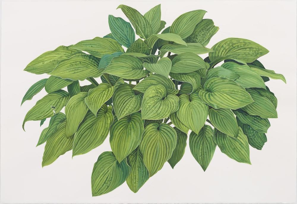 Hosta 3 (Green)