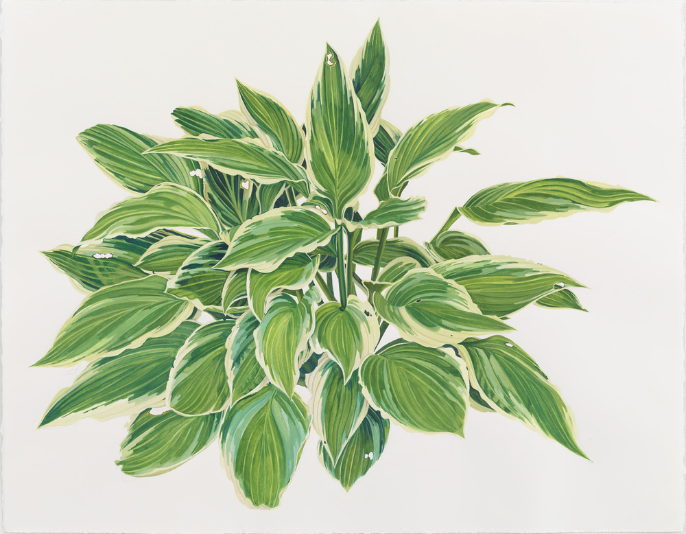 Hosta 1 (Green & White)