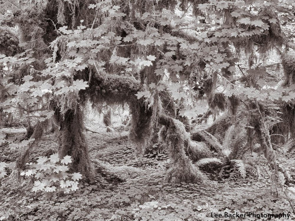 Luxuriant Growth, Hoh Rainforest, Washington