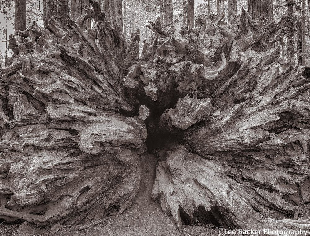 Fallen Redwood, Humboldt County, California