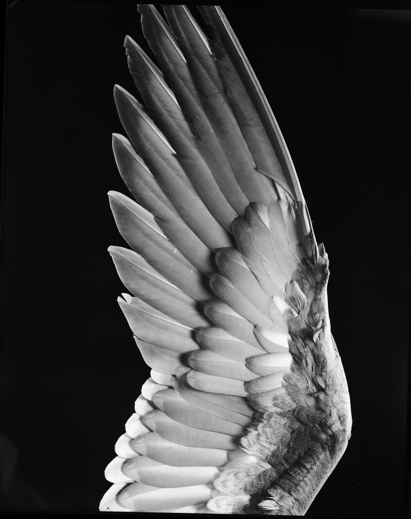 gacougnol :       Milton Halberstadt    Bird Wing   undated
