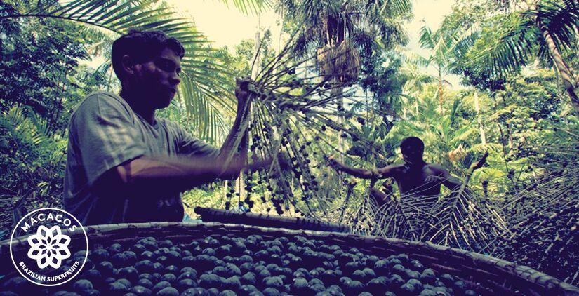 Sedan vi lanserade har 1500 hektar skog som tidigare var helt skövlad blivit återställd. Idag växer där acaiträd och andra träd och växter.Vi vill ge tillbaka till skogen som har gett oss alla dessa utsökta och nyttiga frukter.
