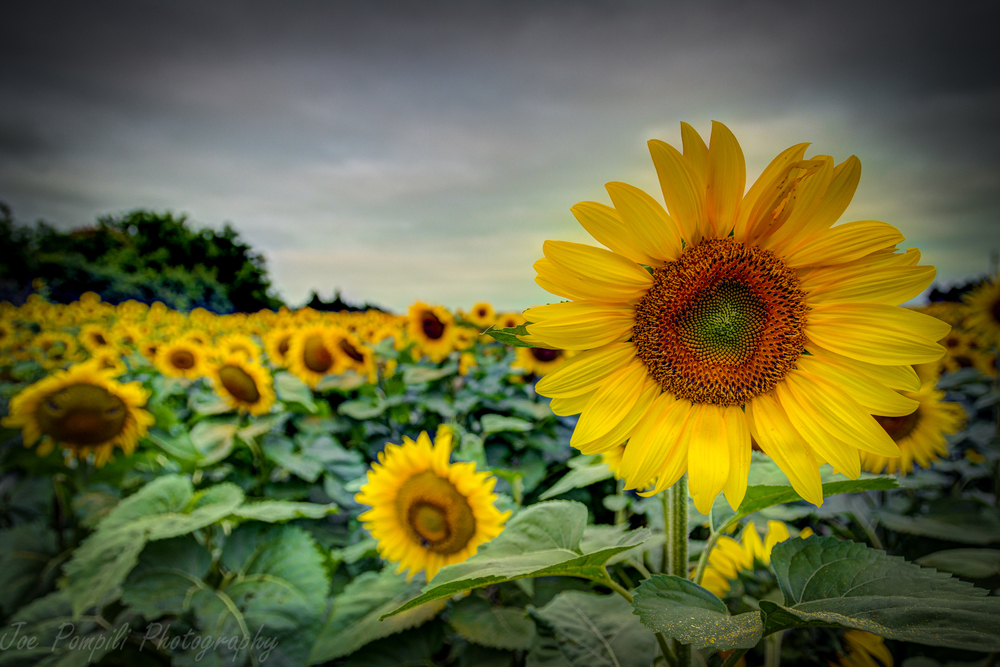 Calkins Road Sunflower Field #3P