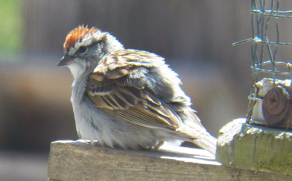 A chipping sparrow.