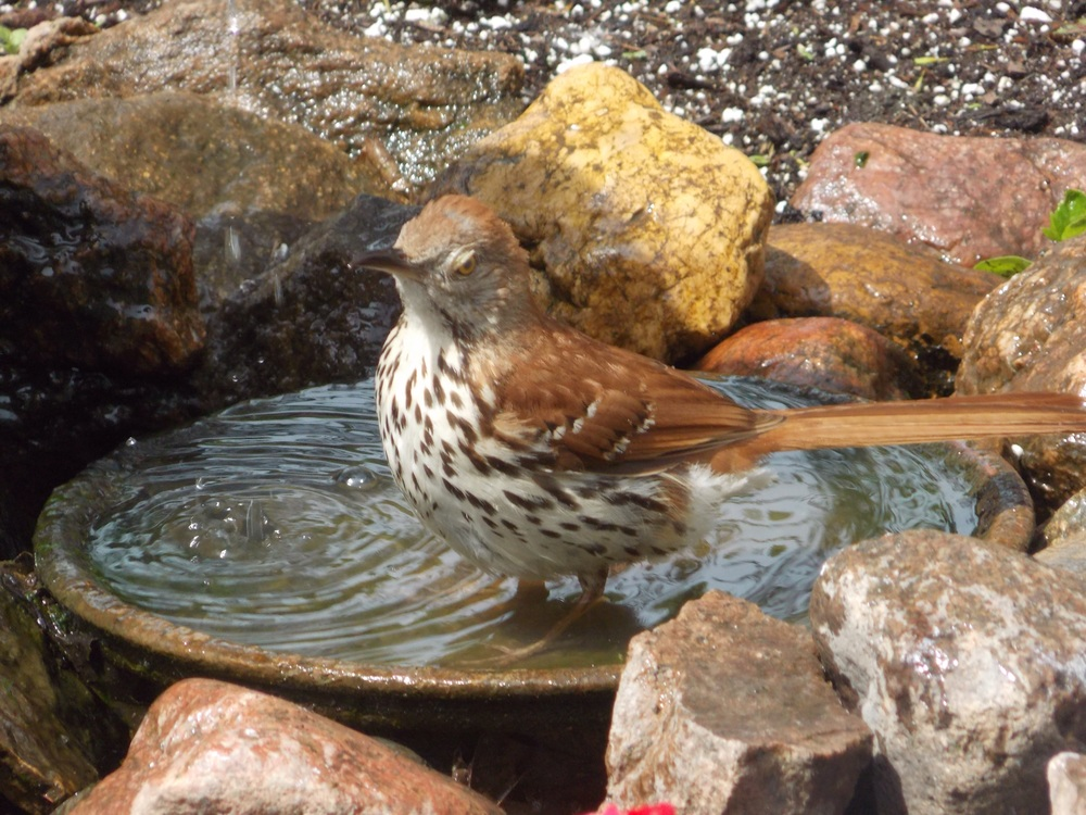And a brown thrasher.