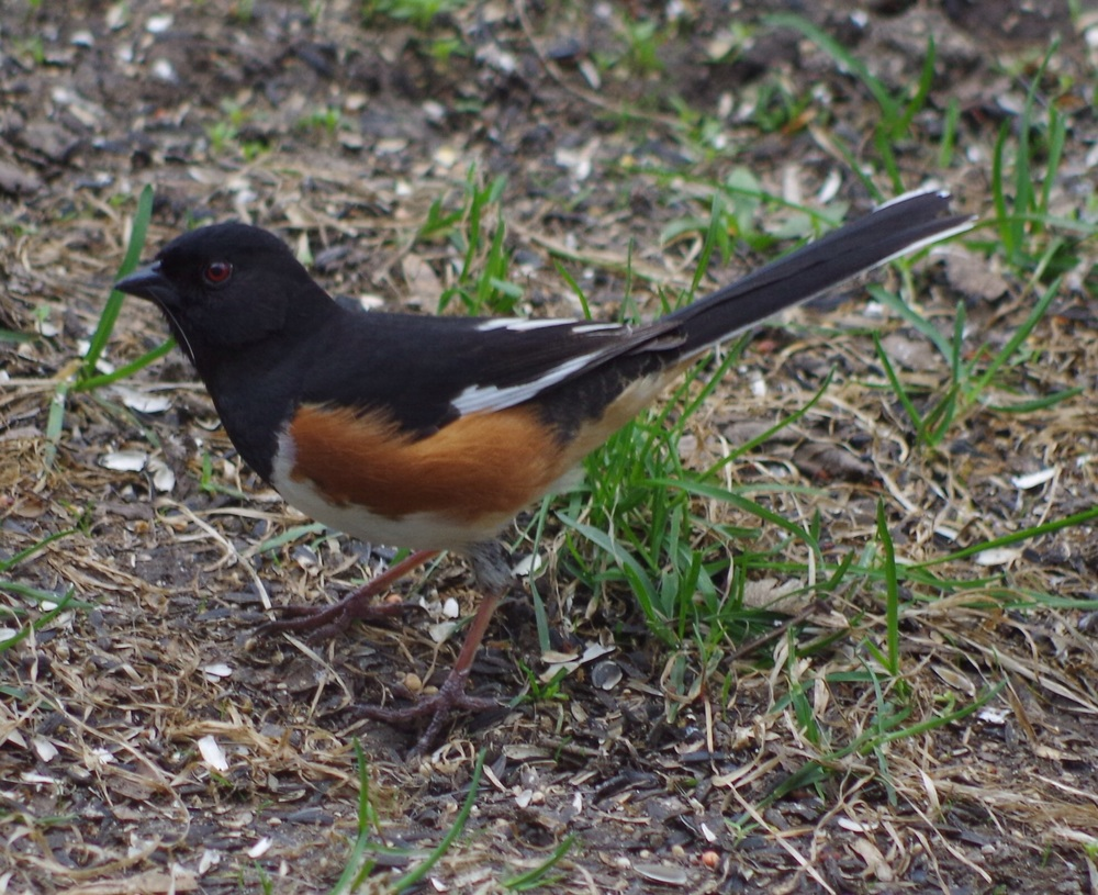 An eastern towhee.  I still occasionally call it by its old name, the rufous-sided towhee. I hope it doesn't mind.