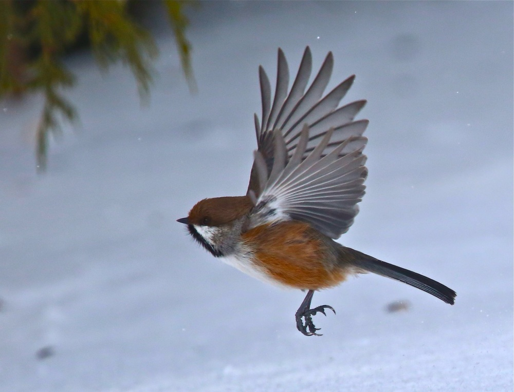 And a boreal chickadee.