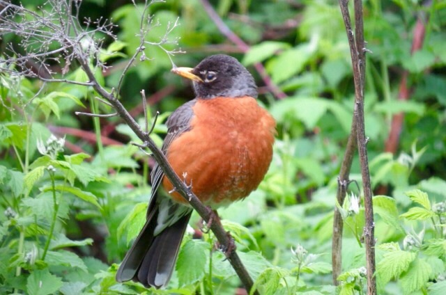 We tend to overlook the beauty in the commonplace. Shame on us. What a lovely bird the American robin is.